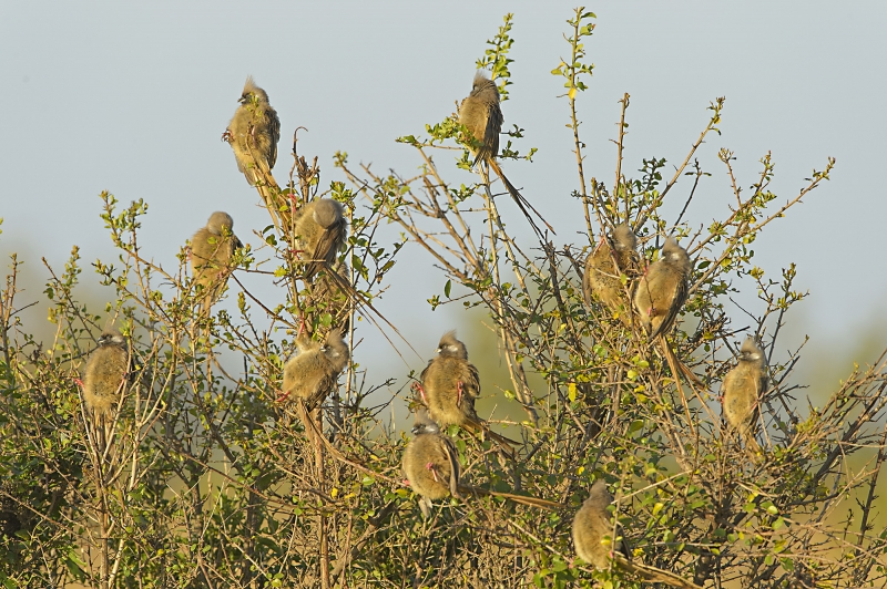 Mousebirds