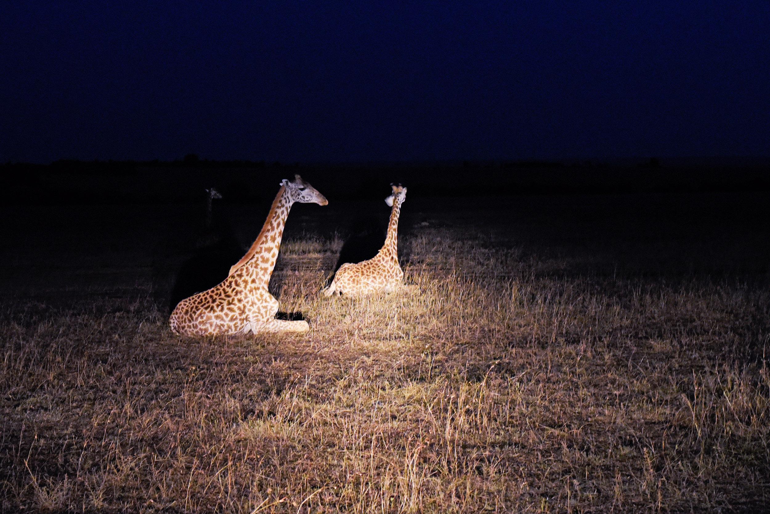 GiraffenScheinwerfer