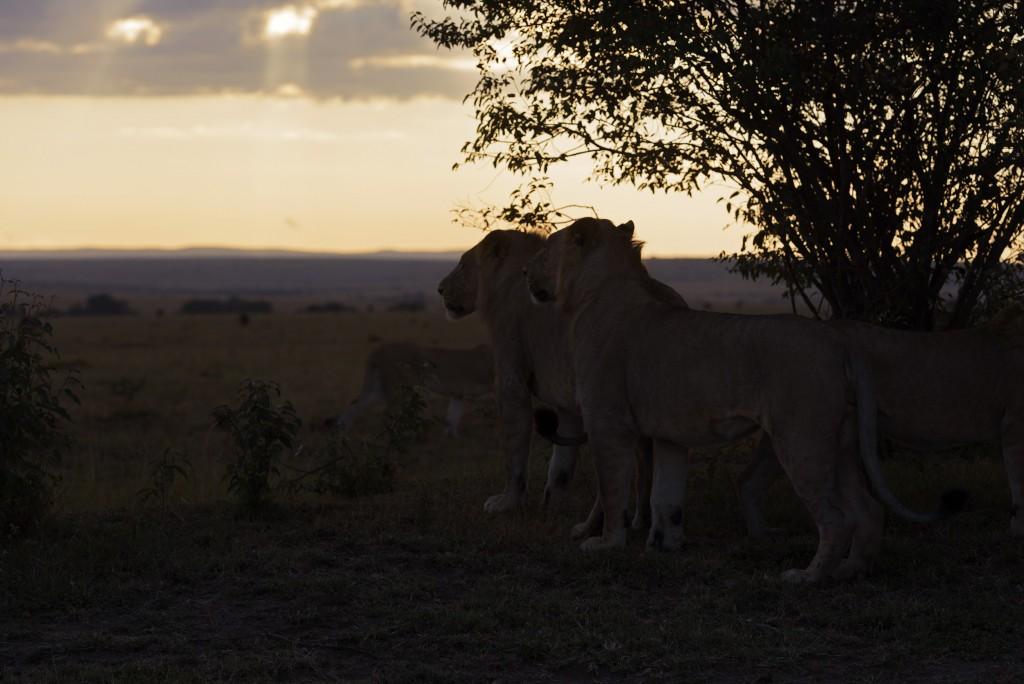 Löwenmorgen