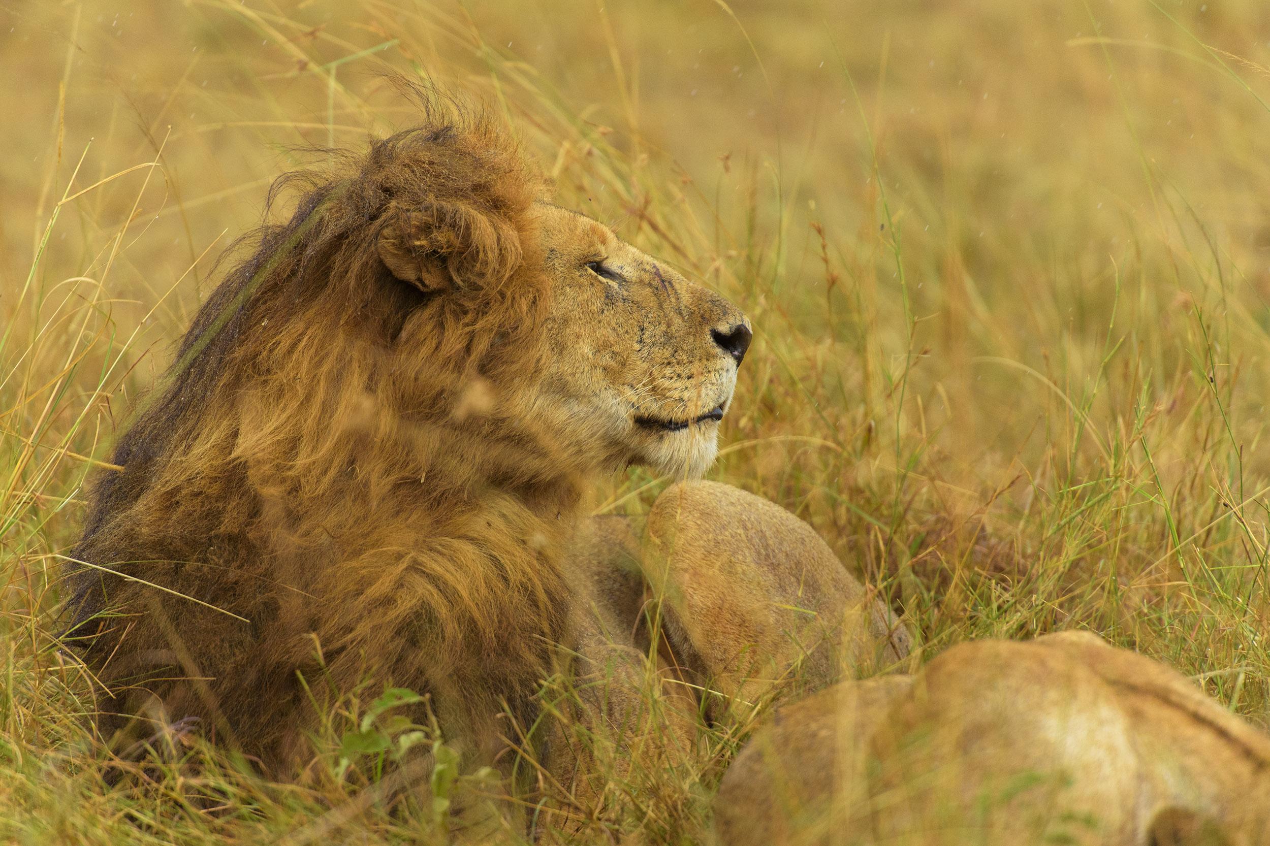 Löwenschlaf