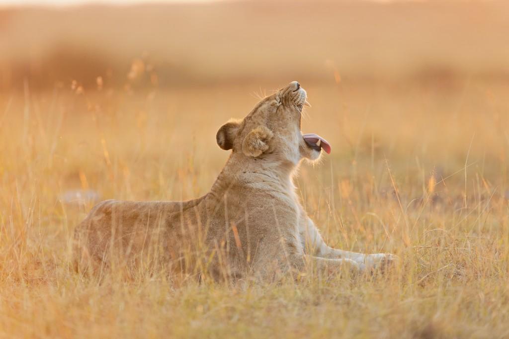 Löwin Morgensonne1
