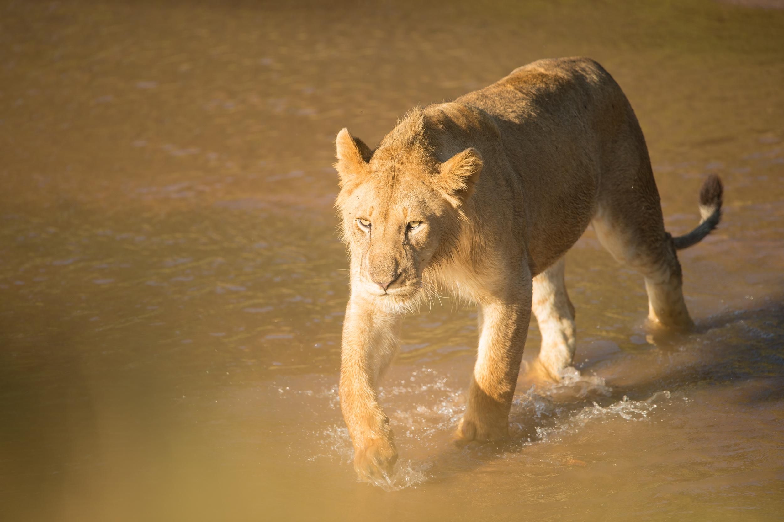 Löwin im Fluß